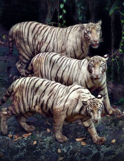 llbwwb:  For the Tiger Lovers:) by Irawan Subingar.