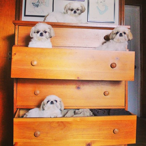 "Dog Family Takes Up Residence in Dresser According to multiple reports, a family of shih tzu puppies has taken up residence in the guest bedroom dresser. The property been vacant since the previous tenants, a pair of cats, moved down the hall to the bathroom linen closet last year. ""It's great to see a family move into the dresser,"" said real estate agent Candy Hirschman. ""It's in a really great section of the upstairs, so hopefully this with breathe some new life into it and quicken some of the redevelopment efforts over there."" According to Hirschman, there are plans for a new built-in bookshelf across the hall from the guest bedroom, and new sliding doors will be put on the closet in May. Both of those projects are expected to improve foot traffic to the area, which should a boon to second-floor businesses. Via abbatheshihtzu."