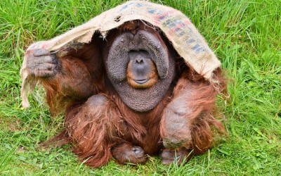 Orangutans find shelter from the sun at Durrell Wildlife Conservation Park in Jersey, Channel Islands.  Picture: Jules Annan/Barcroft Media