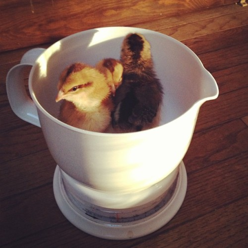 Together they weigh in at about 4 ounces. 3 weeks old! 🐤🐥🐣
