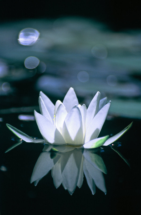 """The lotus is a favorite Buddhist symbol. After all, it grows in the mud of materialism or suffering, but blooms pristinely above the water's surface, symbolizing the achievement of purity or enlightenment."" For mere on the amazing lotus: http://shambhalasun.com/sunspace/?p=33213"