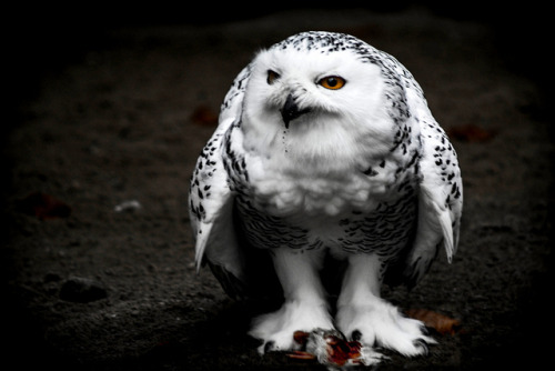 funnywildlife:  Eating Owl by Bulbexposure on Flickr.