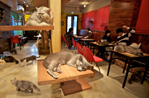 """A cat café is a theme café whose attraction is cats that can be watched and played with. Patrons pay a cover fee. generally hourly, and thus cat cafés can be seen as a form of supervised indoor pet rental. Cat cafés are quite popular in Japan, with Tokyo being home to at least 39 cat cafés. A pioneer is Cat's Store (猫の店 Neko no Mise) by Norimasa Hanada, which opened in 2005. The popularity of cat cafés in Japan is attributed to many apartments forbidding pets, and to cats providing relaxing companionship in what may otherwise be a stressful and lonesome urban life. Other forms of pet rental such as rabbit cafes, are also common in Japan.""-Wikipedia."