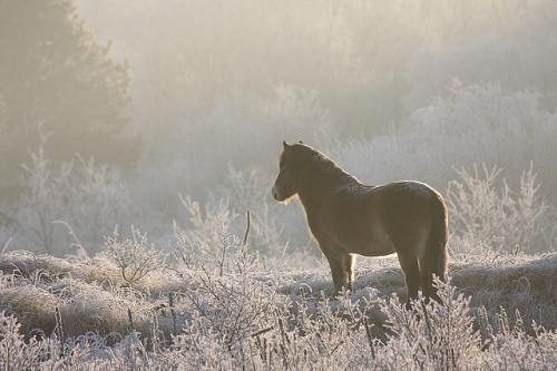animalgazing:  Exmoorpony by Pim leijen