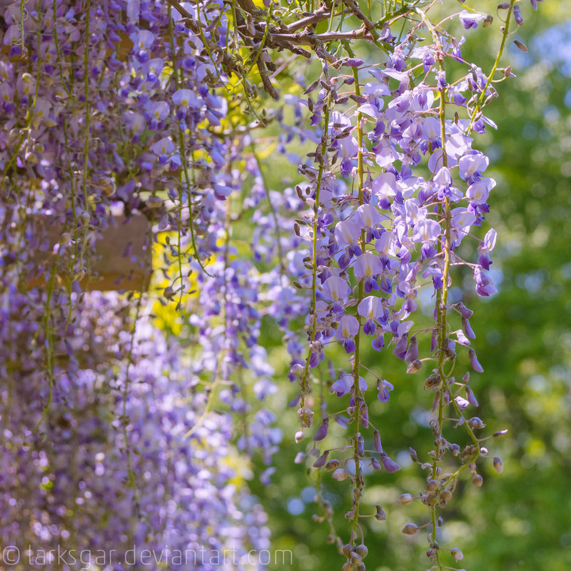 Wisteria in the art museum I by *larksgar
