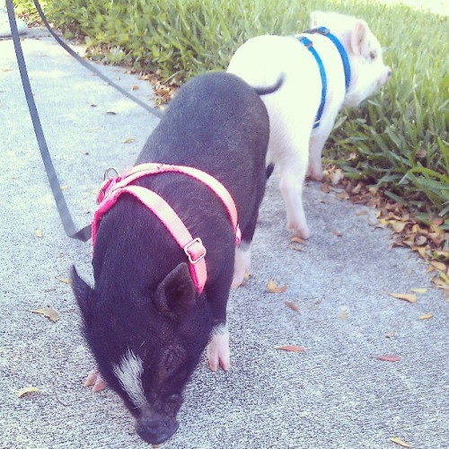 Ran into a Pineapple Compound resident walking her two pigs.
