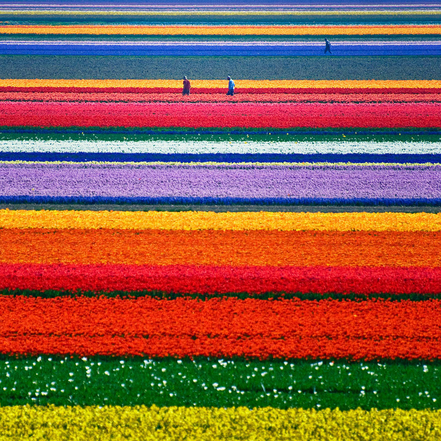 Tulip Fields in Netherlands  o look it's city and colour's little hell album