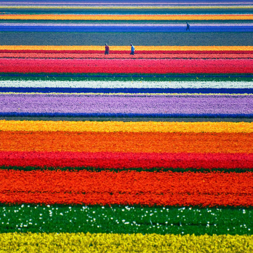 m-e-r-m-a-i-d-c-h-i-l-d:   Tulip Fields in Netherlands  GET EASY, SAFE MONEY ONLINE TODAY JUST BY DOING SURVEYS AND OFFERS! *NOT A SCAM GUYS* Join CashCrate today and start gaining money the safest way. No scams, no worrying, no paying. Get a check every month when you reach $20 or more. Message if you have more questions, please let me know lovelies! I've received 6 checks from them. It's been really helpful to me so I hope it is to you too xx You just sign up & start!!