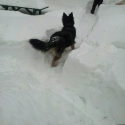 Molly in the driveway #Nemo #blizzardNemo #GSD