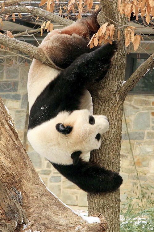 fuckyeahgiantpanda:  Tian Tian at the National Zoo, Washington D.C., on January 26, 2013. © Ajay77*.