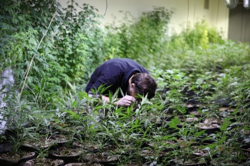 motherboardtv:  The Silicon Valley of Weed, in Photos