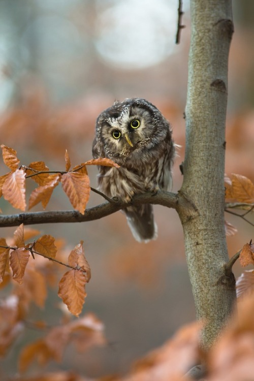 pagewoman:  Tengmalm´s Owl  by Milan Zygmunt on 500px