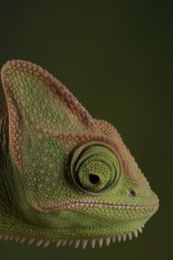 oculi-ds:  veiled chameleon 1 by ~bugalirious-STOCK