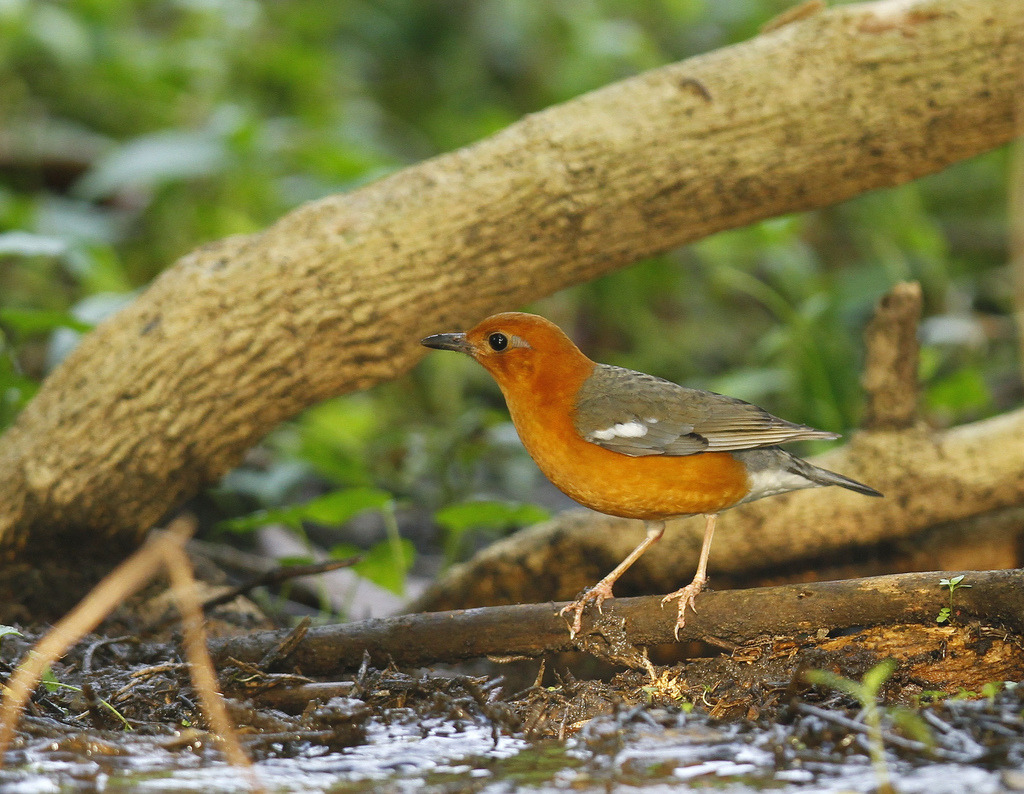 Orange Headed Thrush  (by Isuru Gunasekera)