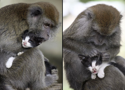 Kimon, an eight-year-old female long-tailed monkey, grooms a kitten on Bintan Island, Indonesia. Kimon reportedly has such strong maternal instincts that she treats the cat just like one of her own offspring.  Picture: Sijori Images / Barcroft India