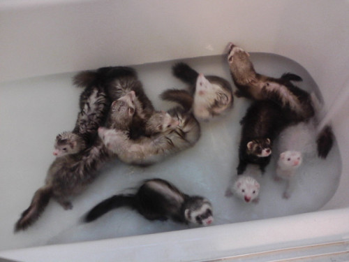 killette:  weiyena:  all of my ferrets taking a bath that's 10 of them  eeeeeeeeeeeeeeeeeee so many fuzzies