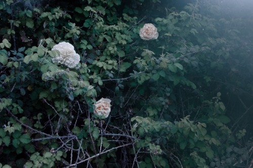 The Albino Roses Francesco Paolo Catalano, 2013