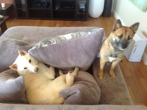 Kona does not understand why Kirin burrows in the pillows.