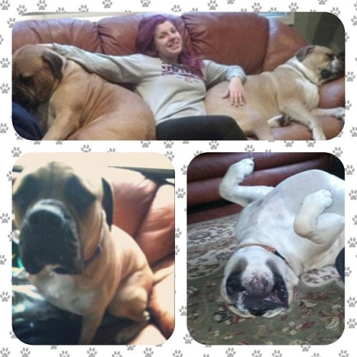 I love these giant babies💕 #oscar #rambo #bullmastiff #petsitting #dogwalking #puppies #lol #hugedogs #love #silly #paws #pawprints #frame