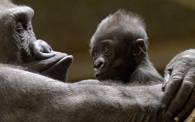 A gorilla baby sits in the hands of his mother Changa-Maidi at the zoo in Muenster, western German.  Picture: Martin Meissner