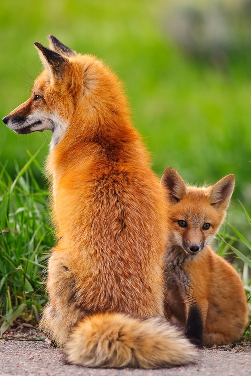 loveablefoxes:  Red Foxes