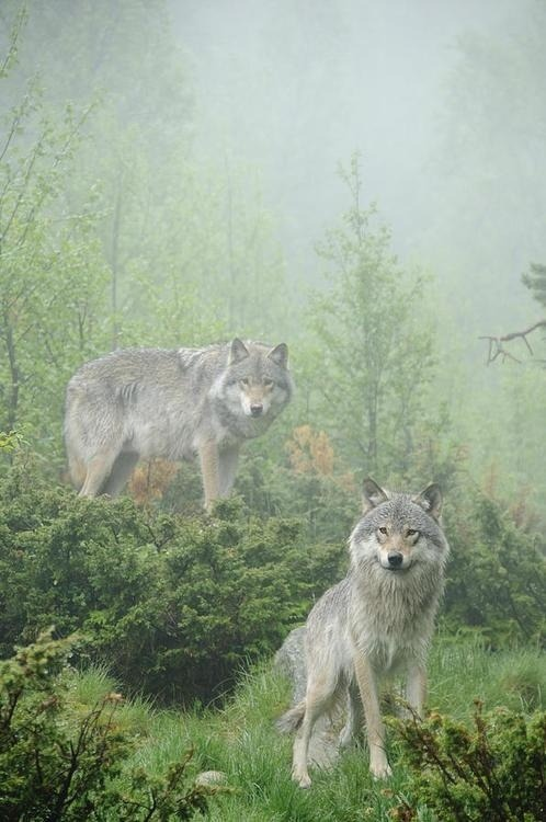 beautymothernature:  Beautiful wolveswolves: By An Love Moments