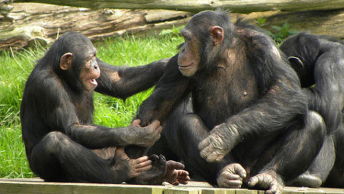 When it comes to short-term memory, chimps are smarter than humans      An amazing working memory likely helps the animals navigate the branches of huge trees to feed.