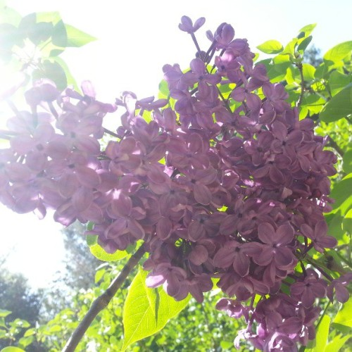 Lilacs…have I told you how much I love lilacs?  (at Descanso Gardens)