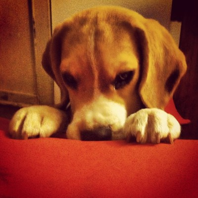 Mozziethepuppy #puppy #dog #beagle #Instagram #photographers #photooftheday #igersvenezuela #igerschile #photoblipoint