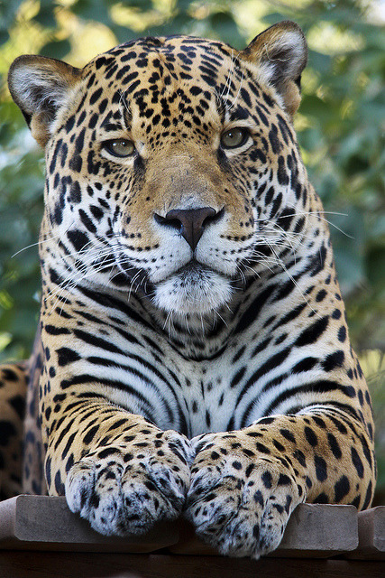tigersandcompany:  Jaguar (by Joe_Copalman)