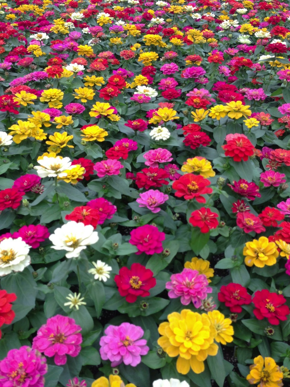 Double Flowering Zinnias in full bloom!