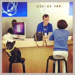 Seymour has a problem. #macstore #applestore #frenchbulldog #peopleofapple