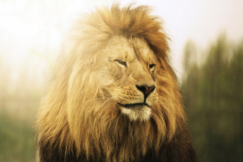 "greekg0ds:  ""lion"" by Jaimie Wylie Photography"