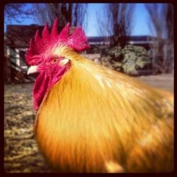 Harvest Home Animal Sanctuary's #1 49ers fan: Mr. A the Rooster. True Story: Mr. A (Full name: Amado) is a former San Franciscan! His golden feathers and bright red comb aptly sport the colors of his hometown NFL team.  Amado along with his girlfriend hen, Valor, were the companion chickens of San Francisco paramedic-firefighter Anthony Valerio who died on June 4, 2011 as a result of injuries sustained in the line of duty. Fellow fire fighters contacted Harvest Home Animal Sanctuary to find a home for his chickens. We welcomed the avian duo to our rescued flock in memory of this fallen hero. Check out a photo of Mr. A and Valor the day they arrived at the sanctuary. Become Mr. A's sponsor for Valentine's Day. **************** Mr. A's Super Bowl Sunday Instagram Portrait: February 2013.