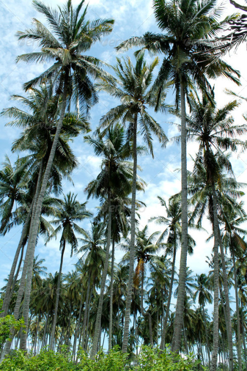 Coconut Trees. Download here: http://photodune.net/item/coconut-trees/4286817