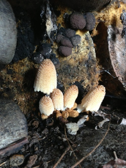 photoarchdesign:  Mushrooms in a rotting woodpile. Black fungus hangs above.