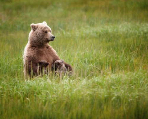 exenworld:  Female brown bear with two cubs in the national park.
