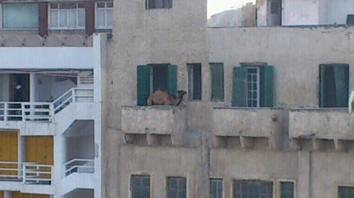 meanwhileinthemiddleeast:  Camel on balcony in Alexandria, Egypt.  I love this blog!
