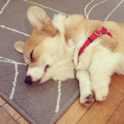 "corgiaddict:  Sir Issac ""Fig"" Newton seems to have collapsed under the weight of his own fluffiness. Submitted by Tinabeans"