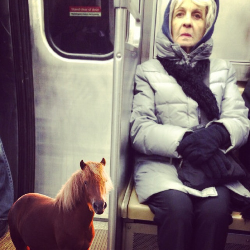 tinyhorses:  This tiny horse forgot to transfer at Belmont. He's super mad now.