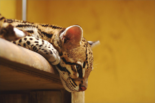 theanimalblog:  Ocelot. Photo by JJay