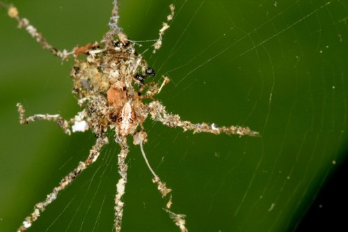 """This Spider Makes Fake Spiders. But Why? """"Scientists returned to the Amazon rainforest in December to collect data on one of their biggest finds of 2012: a spider that uses insect corpses and jungle trashto build big, spider-shaped decoysin its web. But these Peruvian spiders, presumed to be a new species ofCyclosa, are not the sole sculptors of false arachnids. A second decoy spider lives in the Philippines, on the island of Negros. Finding two spiders that make such similar designs, 11,000 miles apart, has left scientists wondering how the behavior evolved and if the decoys serve as lures for prey or as an anti-predator defense system. The discoveries also suggest there may be even more sculpting arachnids."""" Learn more from WIRED."""