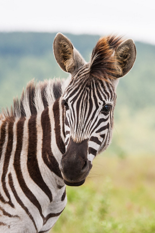 earthandanimals:  loveforearth: Portrait of a young Zebra (by Jean van der Meulen)