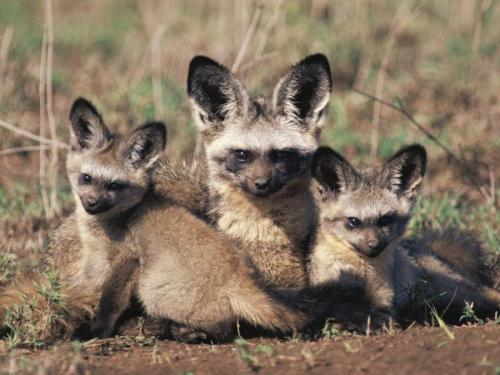 Bat Eared Fox with her kits by Duane1947.