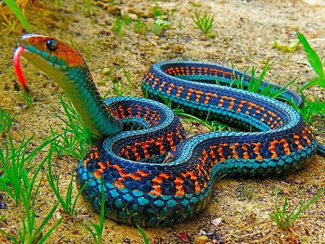 earthandanimals:  melodysmuse: California Red-Sided Garter Snake.  Absolutely beautiful!