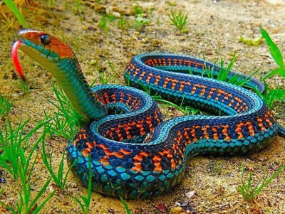 clashofthekhaleesi:  melodysmuse:  California Red-Sided Garter Snake.  Absolutely beautiful!
