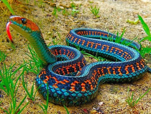 melodysmuse:  California Red-Sided Garter Snake.  Absolutely beautiful!