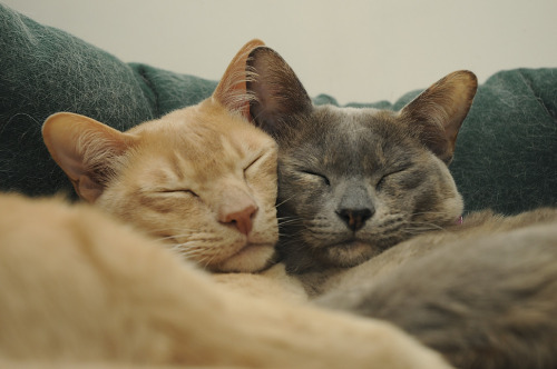 jaguarssoul:  Burmese Cats cuddle by suetupling