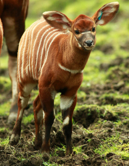 rhamphotheca:  Beautiful Baby Bongos, Bert and Bo, Born at Belfast Zoo by Our Amazing Planet staff In recent weeks, the Belfast Zoo has welcomed two new baby Eastern bongos, a critfically endangered antelope species. Bo was born on 24 February, to mother, Fern and Bert was born on 14 March, to mother, Willa. Resident male, Embu, is father to both calves. [See the new bongo babies .] Eastern bongos are native to the mountain forests of Kenya, and are endangered by hunting and increasing rates of deforestation. The Bongo Surveillance Programme estimates that there could be as few as 75 to140 individuals left in the wild. Zoos are playing a role in the effort to help the species survive both by breeding calves and with a reintroduction program started in 2004 that reintroduced bongos from zoos across America into the wild. Since 2005, the Belfast Zoo has bred over 22 calves, including 5 males and 17 females. (via: OurAmazingPlanet)                         (photo: Belfast Zoo)