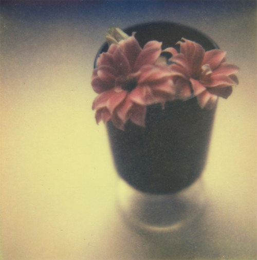 polaroidsandthoughts:  flower shot Camera: Polaroid Sx-70, Film: Impossible project Px 680 Color Shade Cool.